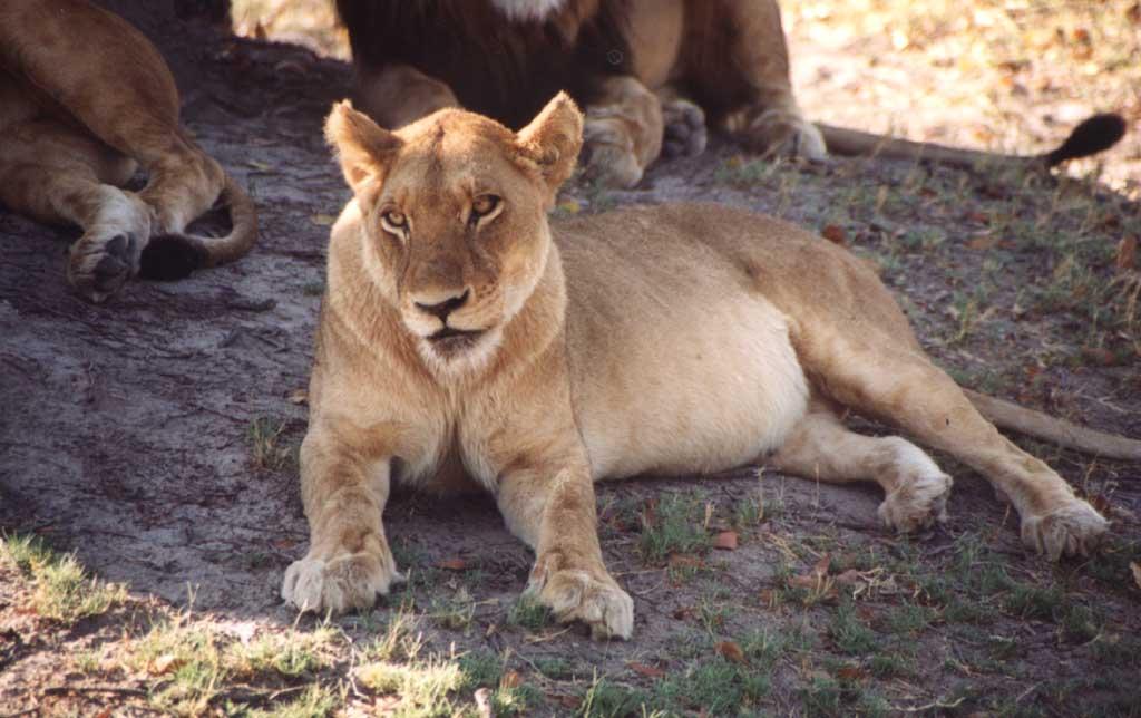 Image result for Lion Pregnant